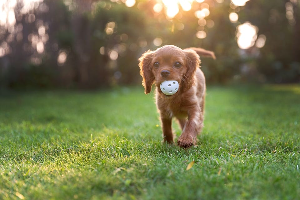 Happy puppy playing with ball in sunset light